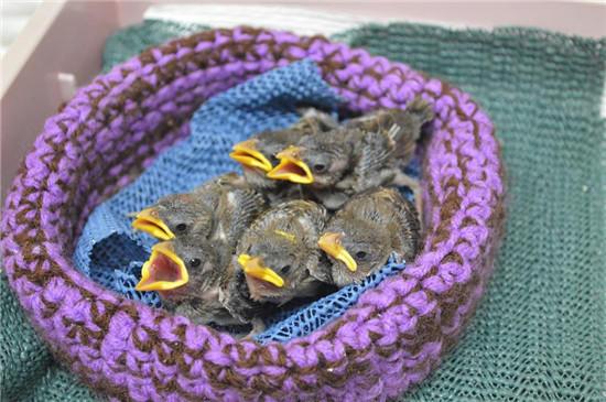 用毛线编织为野生小动物筑巢