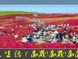 【采采】扫帚草~甜美生活!
