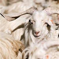 """羊年说说""""软黄金""""羊绒"""