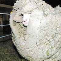 """為躲避剪毛逃跑7年的""""躲羊羊""""與恒源祥"""