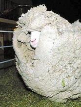 """为躲避剪毛逃跑7年的""""躲羊羊""""与恒源祥"""