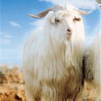 科学世界大揭秘 羊毛好坏的评判标准