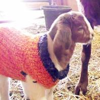 为抵御春寒山羊宝宝也穿毛衣了