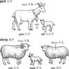 羊是Goat还是Sheep?Virgin wool是什么羊毛?毛线小知识