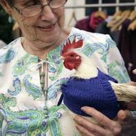 2017鸡年穿上毛衣的这些鸡似懂得知恩图报