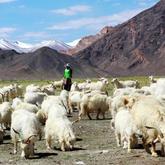 西藏绒山羊养殖 使软黄金山羊绒变成真金