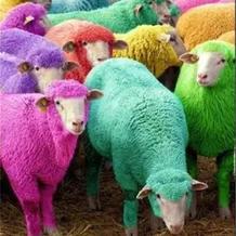 羊年谈羊 了解美丽诺羊毛的诞生